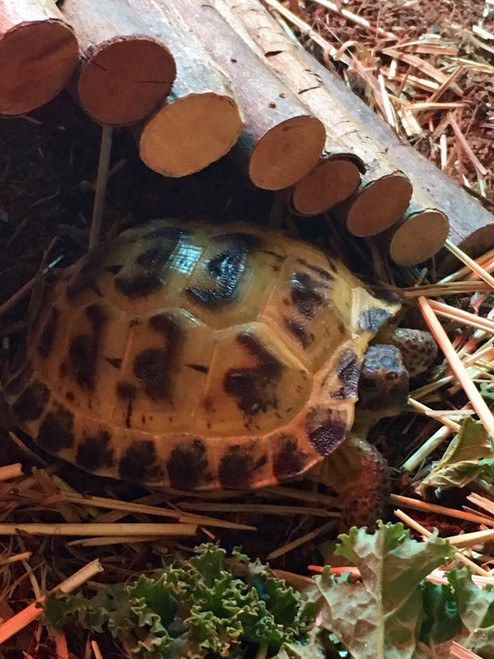 Horsefield or Russian Tortoise (Agrionemys horsfieldii)