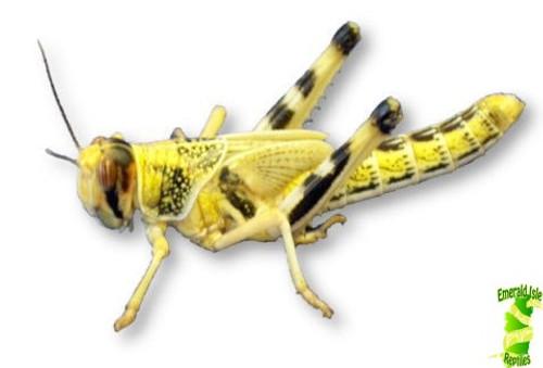 Locusts - Bulk Buy XL / 5th (Bag of 50)