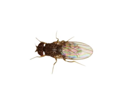 Flightless Fruitfly (Drosophila) culture