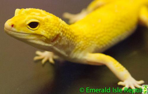 Leopard Gecko - Aptor Male