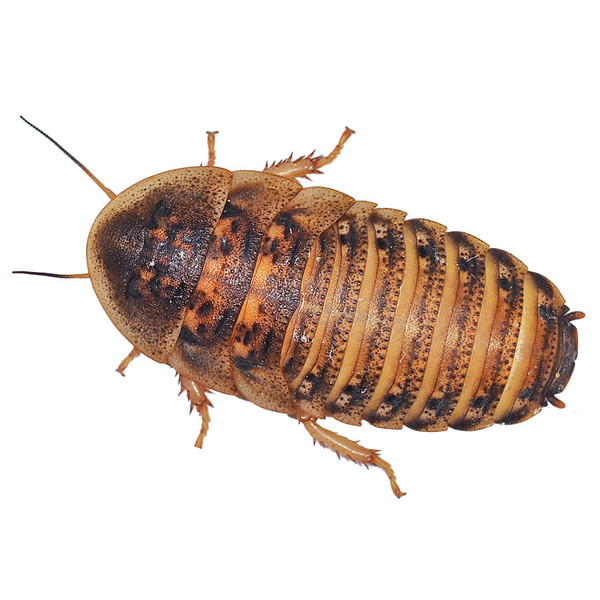 Dubia Roaches - Medium