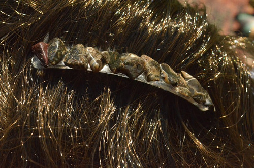 Turritella Stone Hair Combs