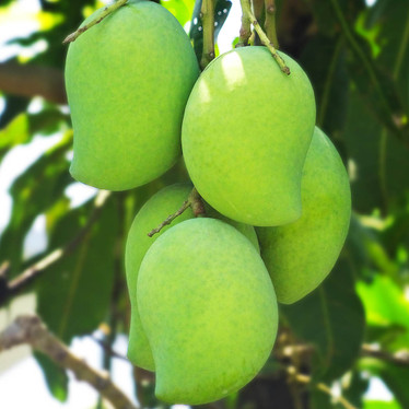 African Mango – what do we know about this?