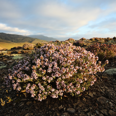 From Hillside To Award-Winning Health Products:  The Power Of Central Otago Thyme