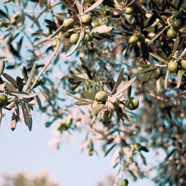 What makes Olive Leaf Extract so Good?