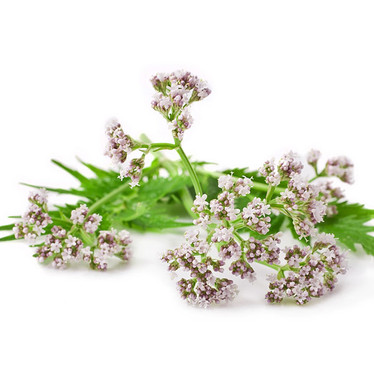 Valerian – Calm Nervousness and Aid Relaxation