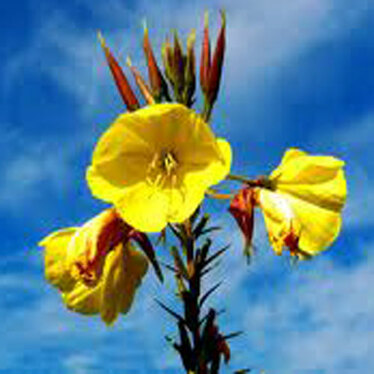The Goods on Evening Primrose Oil