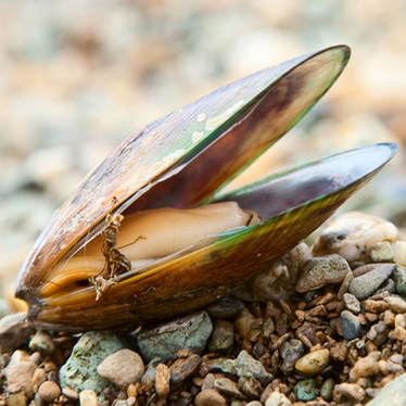 Green Lipped Mussels: A Key to Curbing Inflammation, naturally