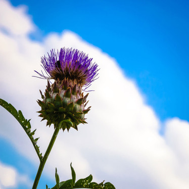 Be Happy and Whistle: Your Liver's on Milk Thistle
