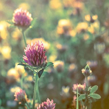 Managing menopause naturally with red clover