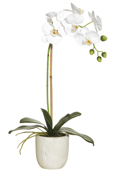 Orchid - Potted