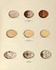 Hawk, Turkey and Buzzard Eggs, Plate XXXIX, American Bird Nests | Fine Art Print
