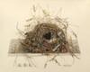 Art Prints of Great Carolina Wren Nest, Plate XI, American Bird Nests