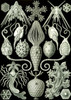 Art Prints of Amphoridea, Plate 95 by Ernest Haeckel