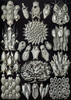 Art Prints of Bryozoa, Plate 33 by Ernest Haeckel