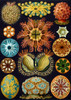 Art Prints of Ascidiae, Plate 85 by Ernest Haeckel