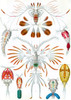 Art Prints of Copepoda, Plate 56 by Ernest Haeckel