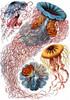Art Prints of Discomedusae, Plate 8 by Ernest Haeckel