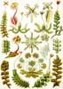 Art Prints of Hepaticae, Plate 82 by Ernest Haeckel