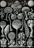 Art Prints of Mycetozoa, Plate 93 by Ernest Haeckel