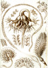 Art Prints of Pennatulida, Plate 19 by Ernest Haeckel
