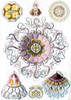 Art Prints of Peromedusae, Plate 38 by Ernest Haeckel