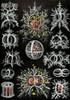 Art Prints of Stephoidea, Plate 71 by Ernest Haeckel