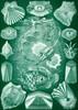 Art Prints of Teleostei, Plate 87 by Ernest Haeckel