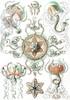 Art Prints of Trachomedusae, Plate 26 by Ernest Haeckel
