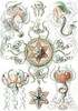 Art Prints of Trachomedusae, Plate 26 by Ernest Haeckel
