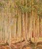 Art Prints of Aspens, Kaibab Forest by Gunnar Widforss