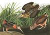 Art Prints of American Woodcock by John James Audubon