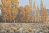 Art Prints of Cottonwoods and Rabbit Brush by John Marshall Gamble