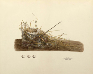 Art Prints of Bewick's Wren Nest, Plate XLII, American Bird Nests