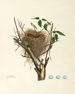 Art Prints of Black Throated Bunting Nest, Plate XXIX, American Bird Nests