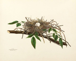 Art Prints of Carolina Dove Nest, Plate XXIV, American Bird Nests