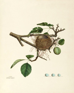 Art Prints of Chipping Sparrow Nest, Plate XXVI, American Bird Nests