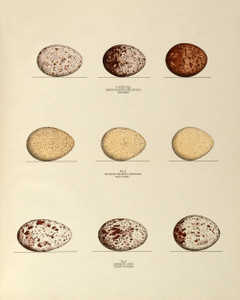 Hawk, Turkey and Buzzard Eggs, Plate XXXIX, American Bird Nests | Fine Art Print