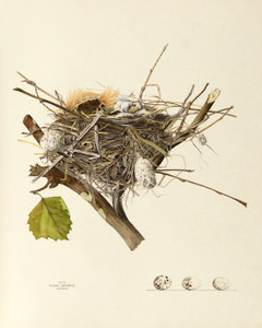 Art Prints of Kingbird Nest, Plate VI, American Bird Nests