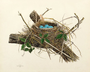 Art Prints of Robin Nest, Plate VIII, American Bird Nests