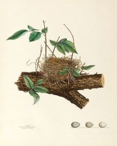 Art Prints of Scarlet Tanager Nest, Plate XXXIII, American Bird Nests