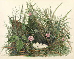 Art Prints of Quail Nest, Plate XVIII, American Bird Nests