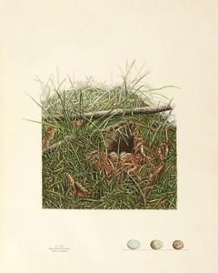 Art Prints of Song Sparrow Nest, Plate XXX, American Bird Nests