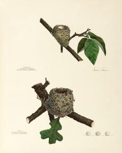 Art Prints of Hummingbird and Gnatcatcher Nests, Plate XXV, American Bird Nests