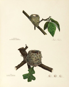 Art Prints of Hummingbird and Gnatcatcher Nests, Plate XXV, American Bird Nests