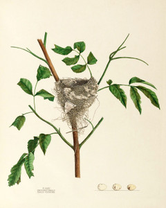 Art Prints of Traill's Flycatcher Nest, Plate XXXV, American Bird Nests