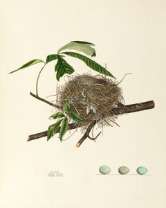 Art Prints of Summer Redbird Nest, Plate XXXIV, American Bird Nests