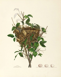 Art Prints of Yellow Breasted Chat Nest, Plate XX, American Bird Nests