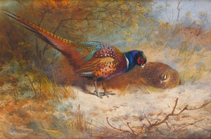 Art Prints of Pheasants by Archibald Thorburn