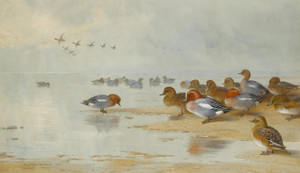 Art Prints of Wigeon and Teal by the Water's Edge by Archibald Thorburn